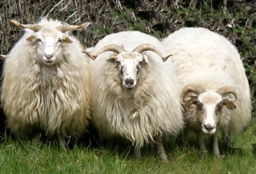 02864c31b6c Chov ovcí. Původní valaška